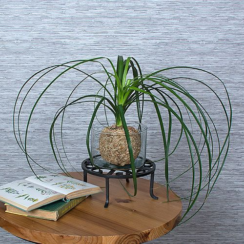 ponytail palm planting instructions