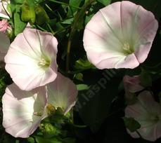 ceanothus blue jeans mountain lilac planter instructions