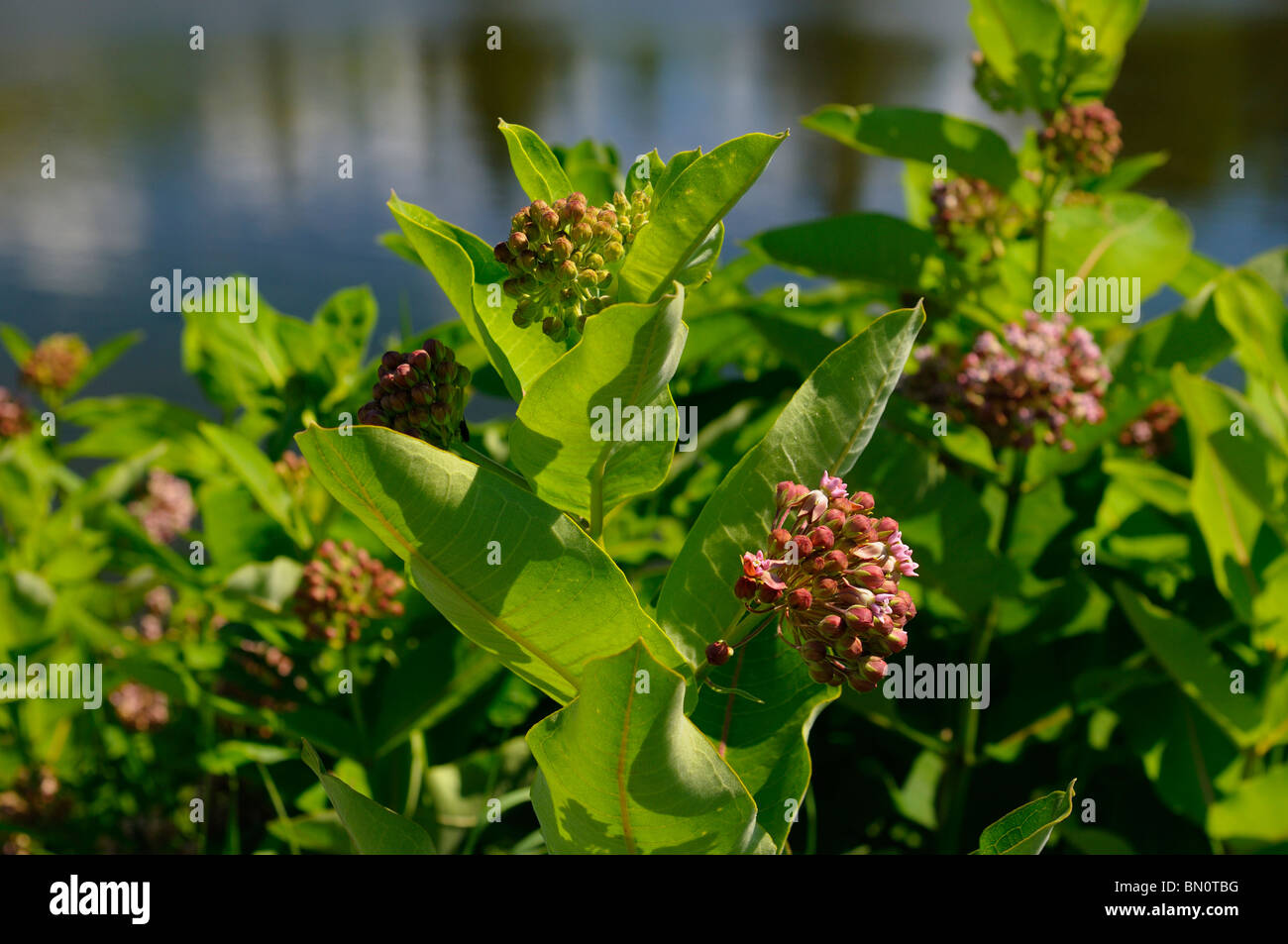 planting instructions for asclepias incarnata