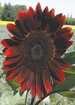teddy bear sunflower growing instructions